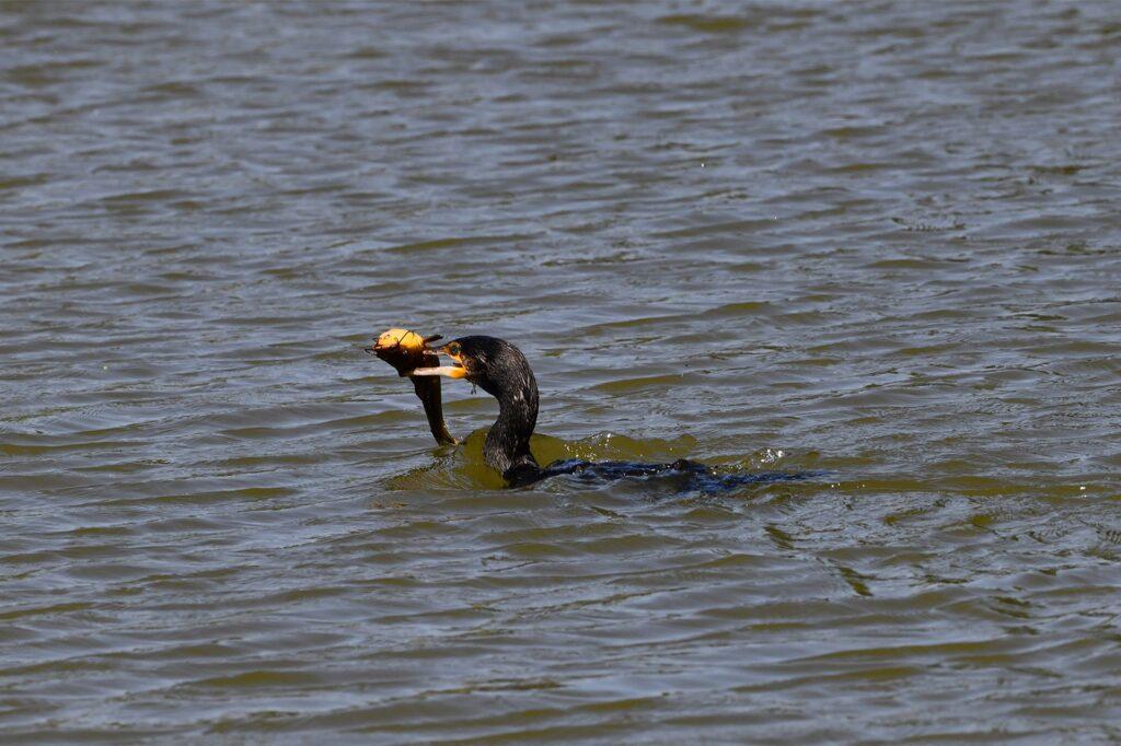 Ein Kormoran verspeist auf dem Schlossteich einen gefangenen Fisch.
